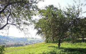 Ausblick von Helgas Apfelhain ins Obst-Hügel-Land: Links Grafensteiner, Mitte Blenheims Goldrenette, rechts James Grieves. Ganz rechts Cronzels (vom Nachbarn)