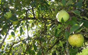 Zotronenapfel - sonnenwarm und göttlich!