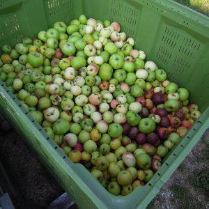 Unsere Ernte: Grafensteiner, James Grieves, Zitronenapfel, Wildshire, Danzinger Kantapfel, Riesenboiken und auch noch ein paar andere.
