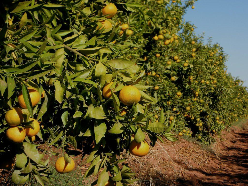Bio-Klementinen der Sorte Orogrande