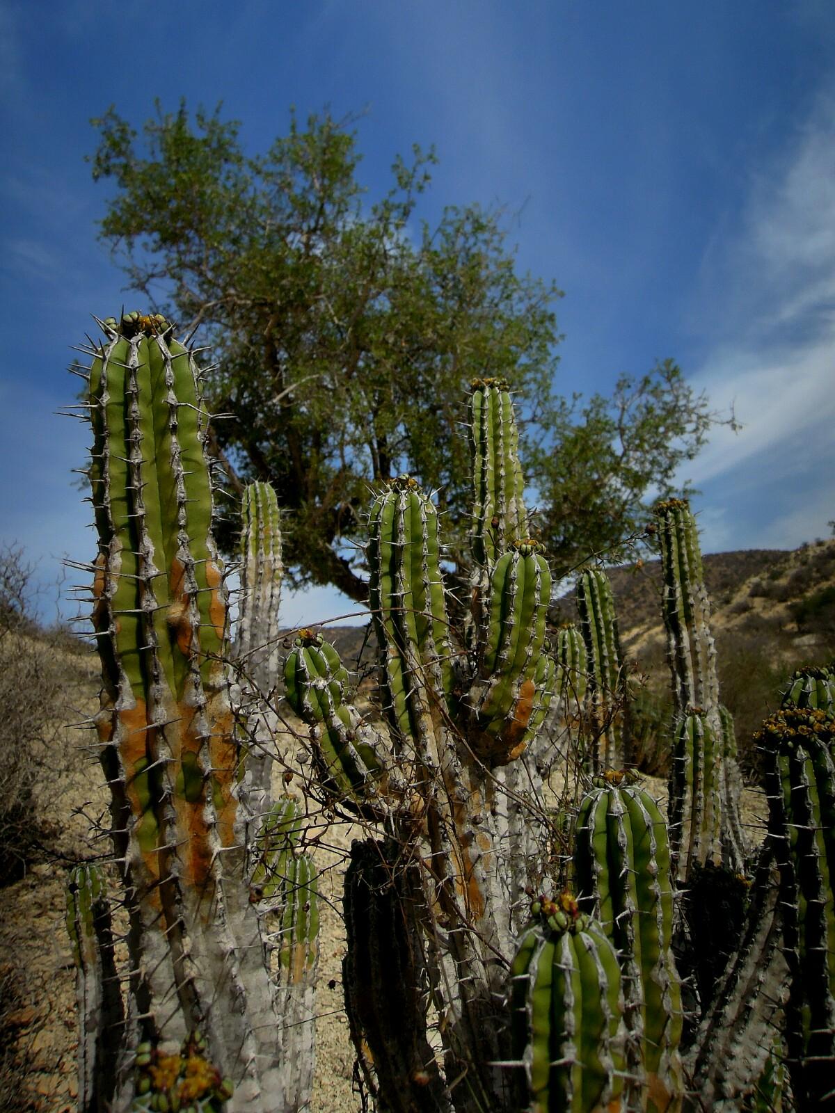 Arganbäume sind an extrem trockenes Klima angepasst - wie die Kakteen im Vordergrund.