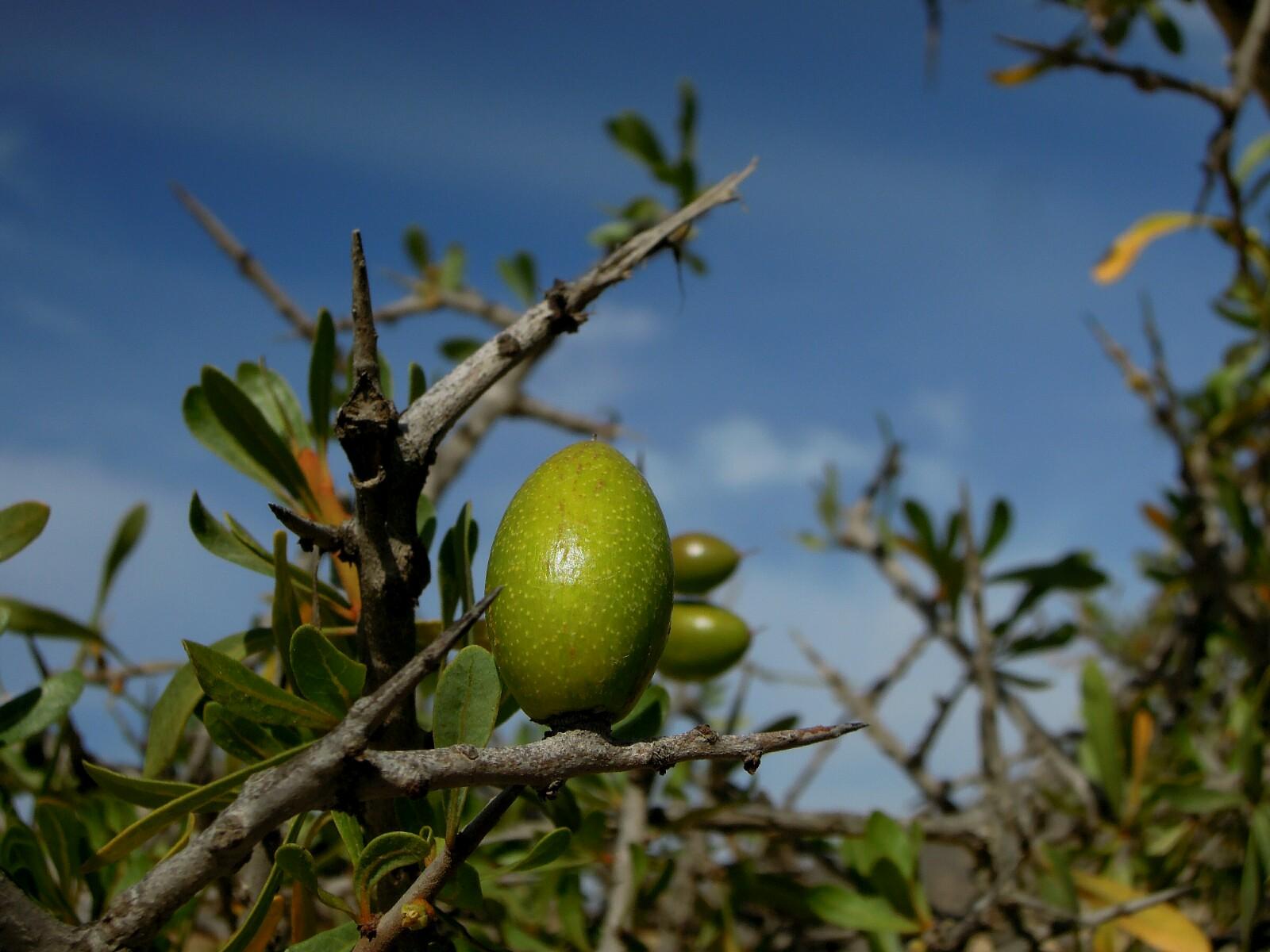 Frische Beeren am Arganbaum.