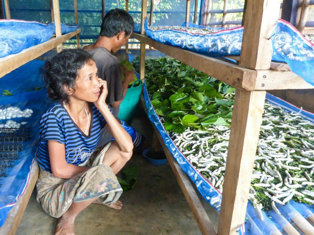 Seide silk Seidenraupe silkworm Laos Mai Savanh Lao organic17