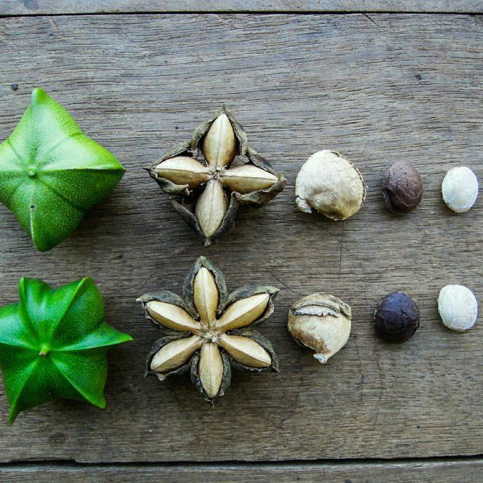 Sacha Inchi Bergnuss Mai Savanh Lao organic17