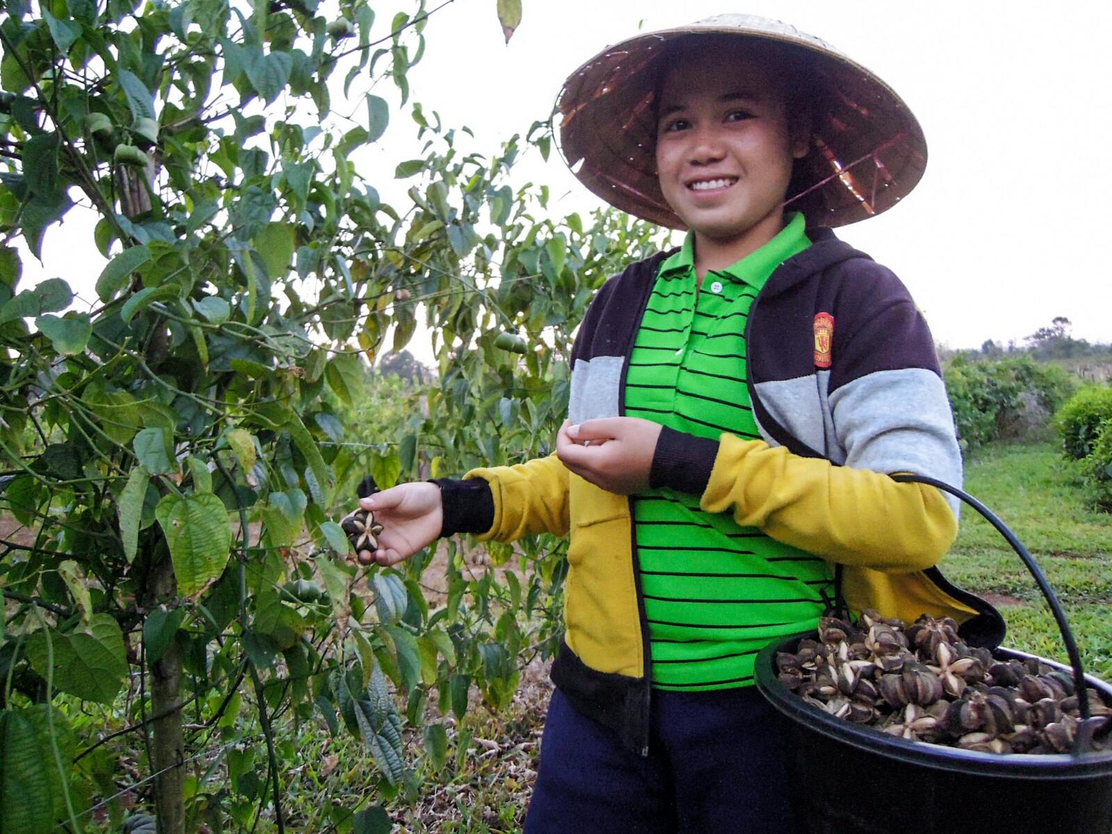 Bergnuss Sacha Inchi Ernte Mai Savanh Lao organic17