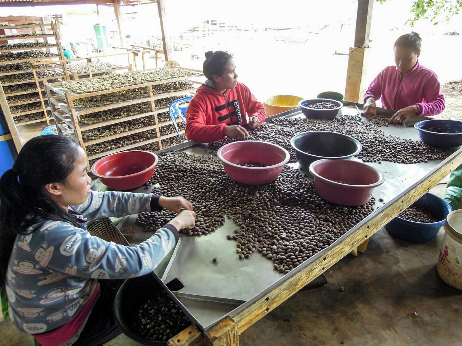 Sacha Inchi Bergnuss Sortierung Mai Savanh Lao organic17