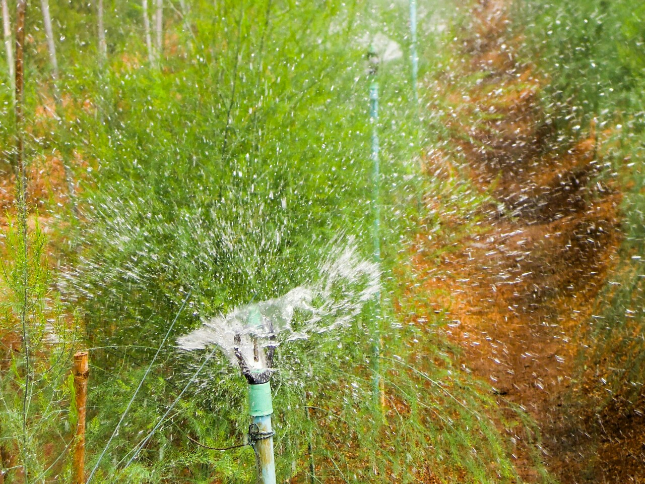 Spargel bewaesserung Sprinkler organic17