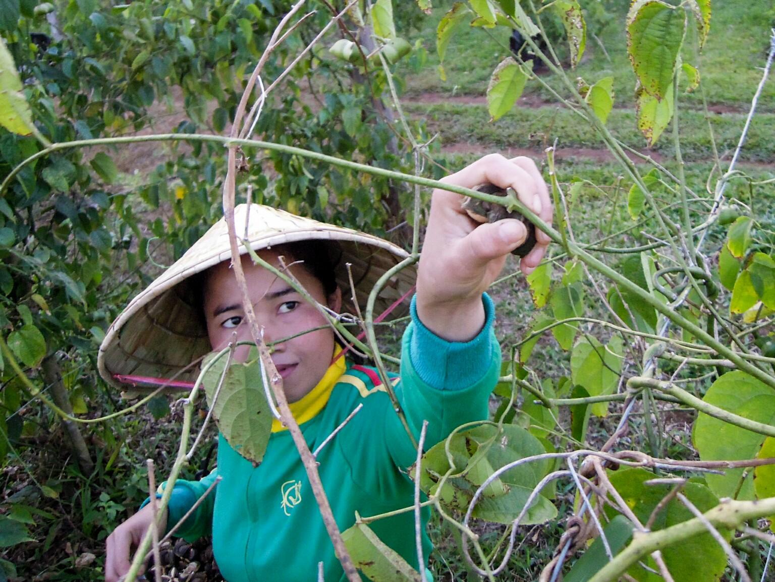Plukenetia volubilis Laos organic17