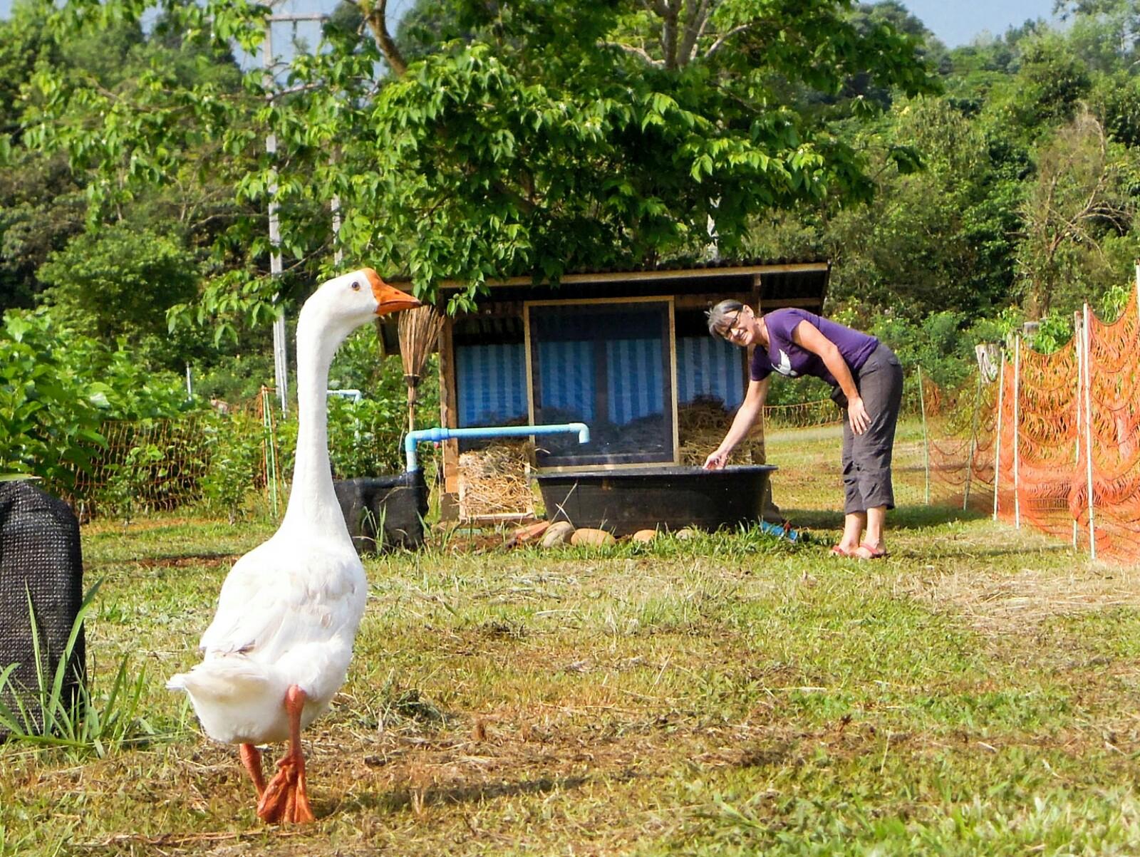Gänse Weide Mai Savanh Lao Laos organic17