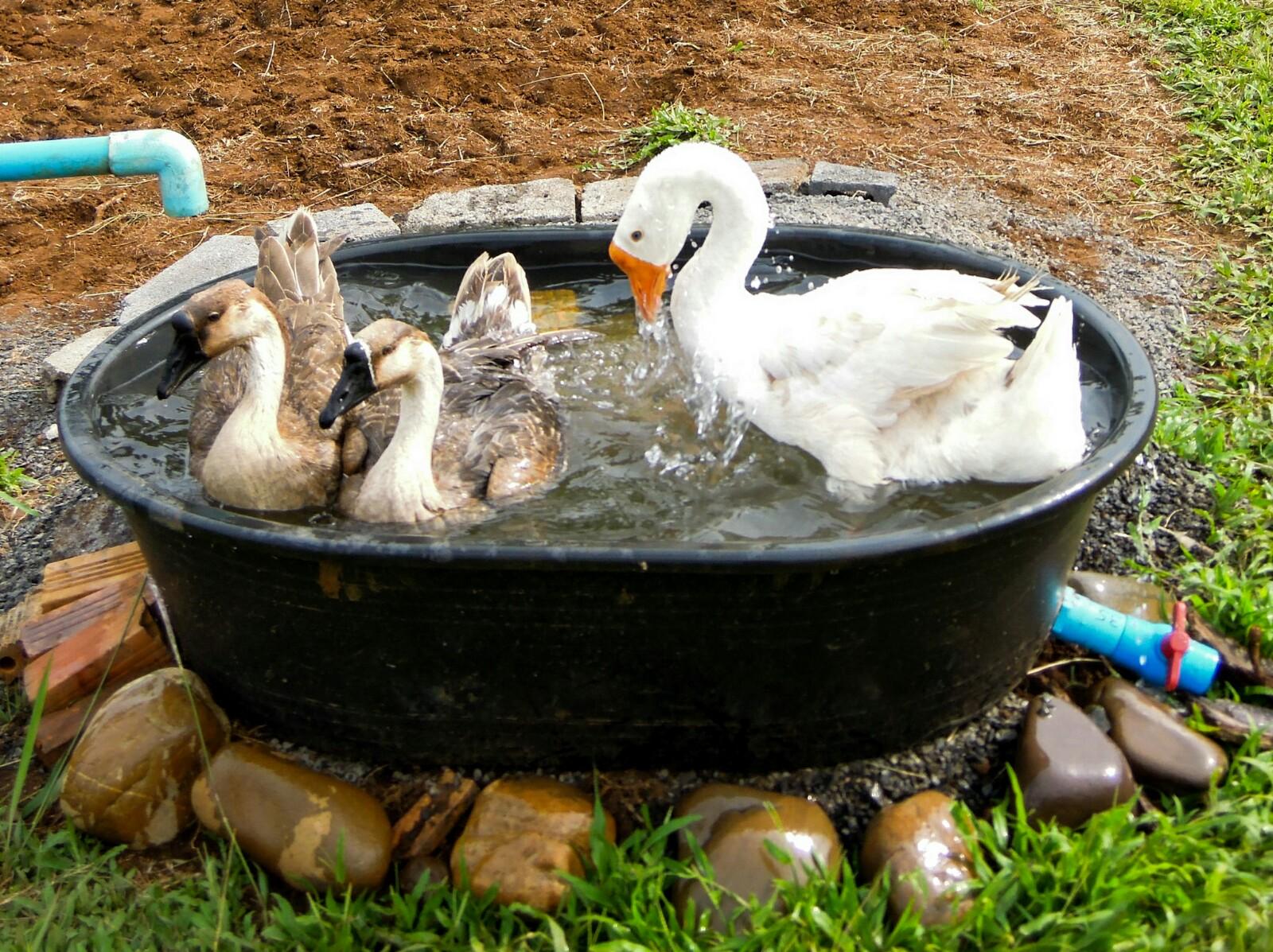Gänse Wasserstelle Bademöglichkeit Laos organic17