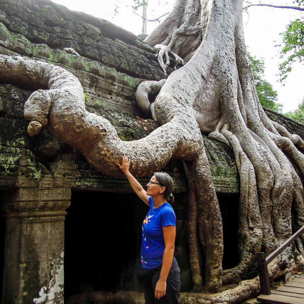 Angkor Tempel Würgefeige Kambodscha