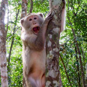 Angkor Affe Dschungel Kambodscha