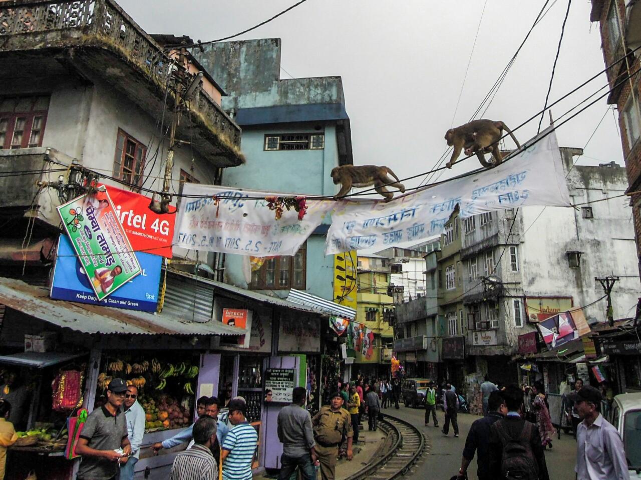Affen queren die Hauptstraße von Kurseong