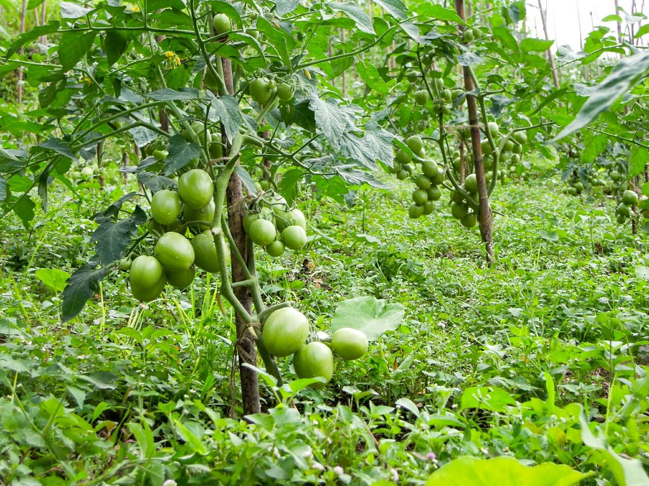freiland tomaten in upper bhaluthang c reinhard gessl. Black Bedroom Furniture Sets. Home Design Ideas