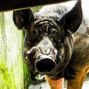 Hampshire Eber in konventioenller Schweinezucht in Geyzing, Sikkim (c) Reinhard Gessl