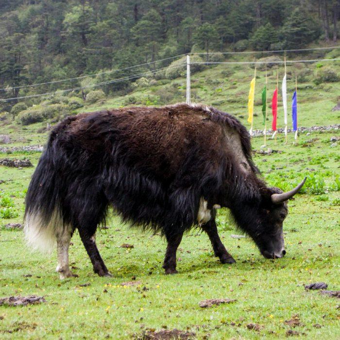 Nord Sikkim Yak (C) Reinhard Gessl