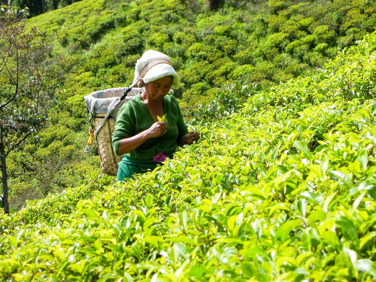 Happy Valley biodynamisch Teepflückerin (c) Reinhard Gessl organic17.org