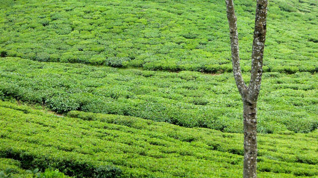 Darjeeling Tee biodynamisch Makaibari Teegarten (c) Reinhard Gessl