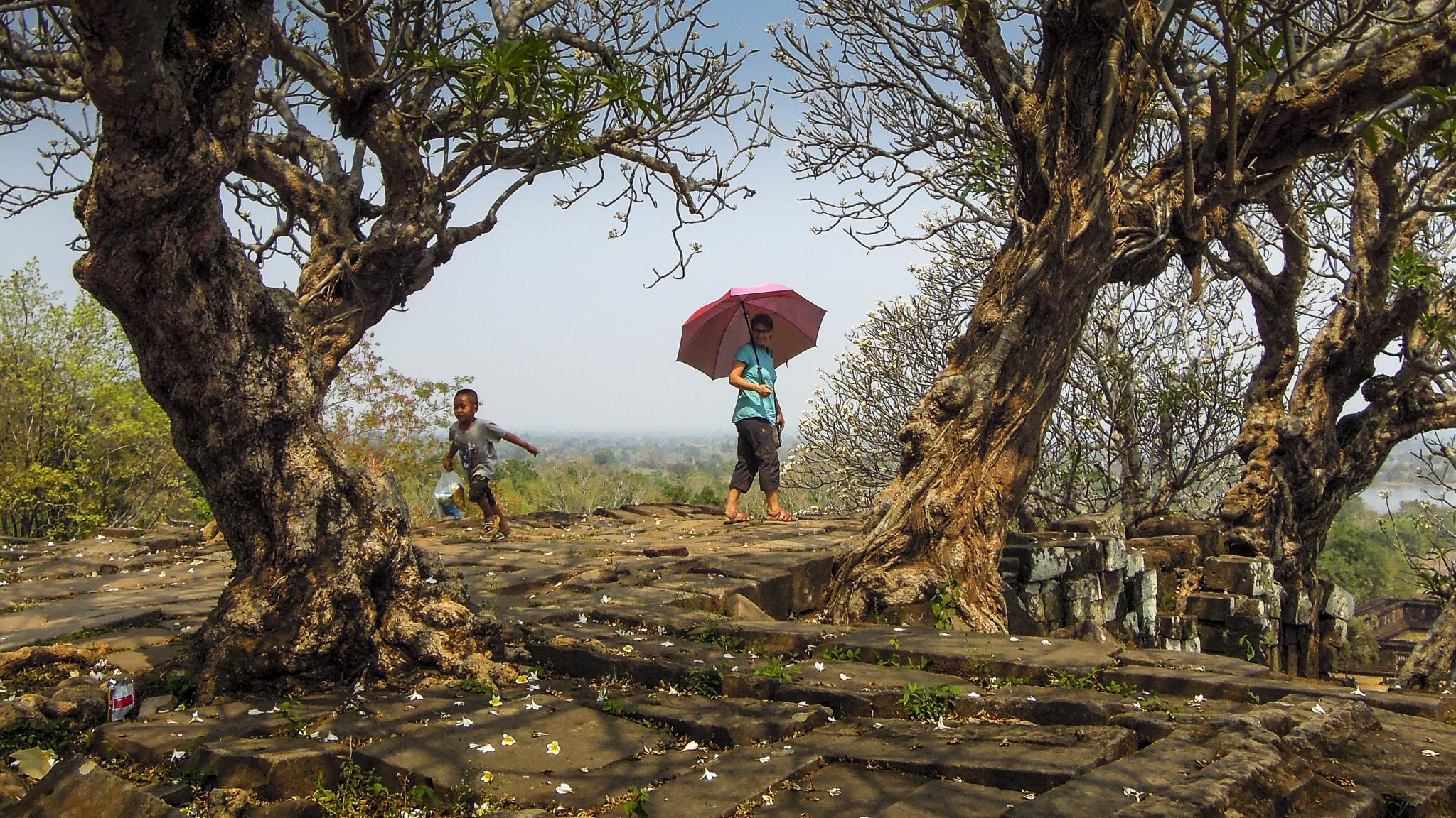 Laos What Phou Champasak Frangipani Tempelbaum Mekong Forschungs-Sabbatical organic17
