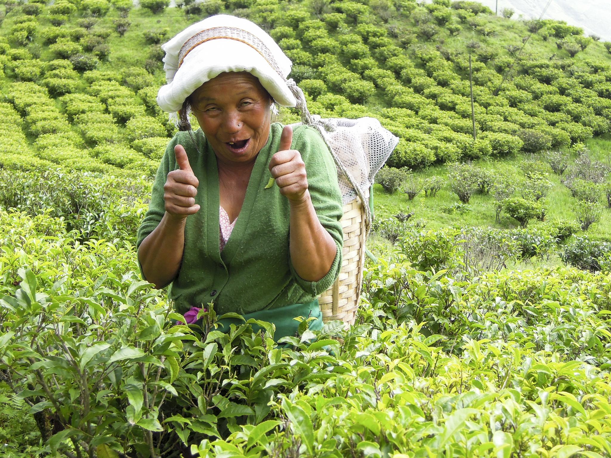 Indien darjeeling Happy Valley Ambootia tea Teepflückerin Forschungs-Sabbatical organic17