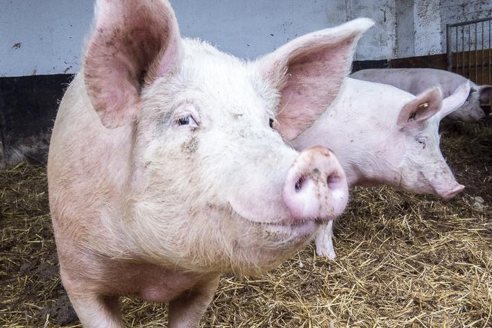 Bio-Schwein, organic17
