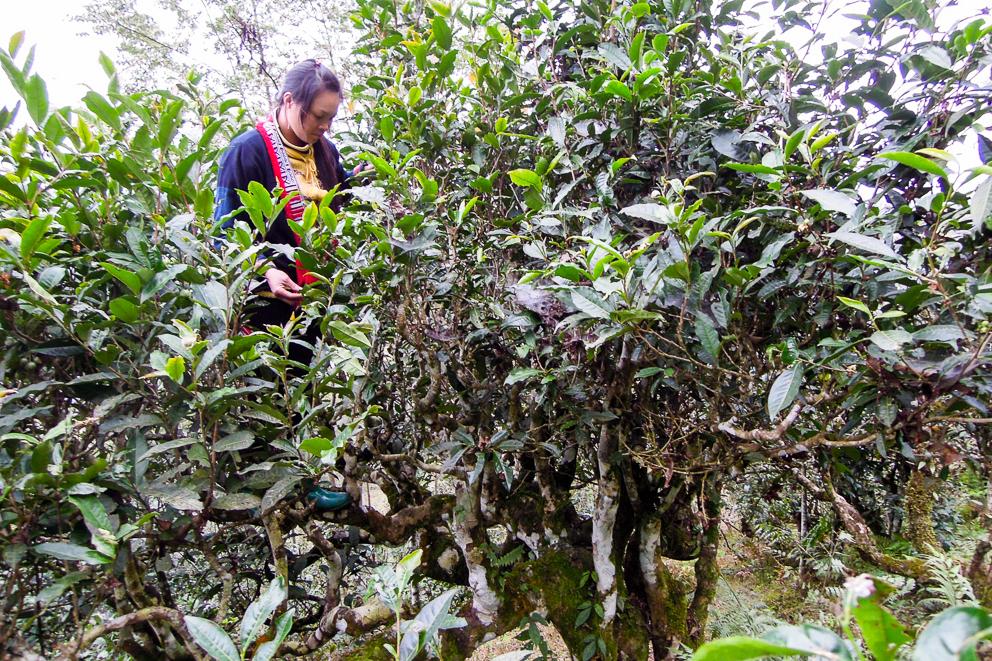 Bäume Teebaum Fin Ho Vietnam Tee