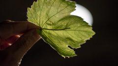 Weinblätter, Weinblatt, Verkostung, (c) organic17 Reinhard Gessl