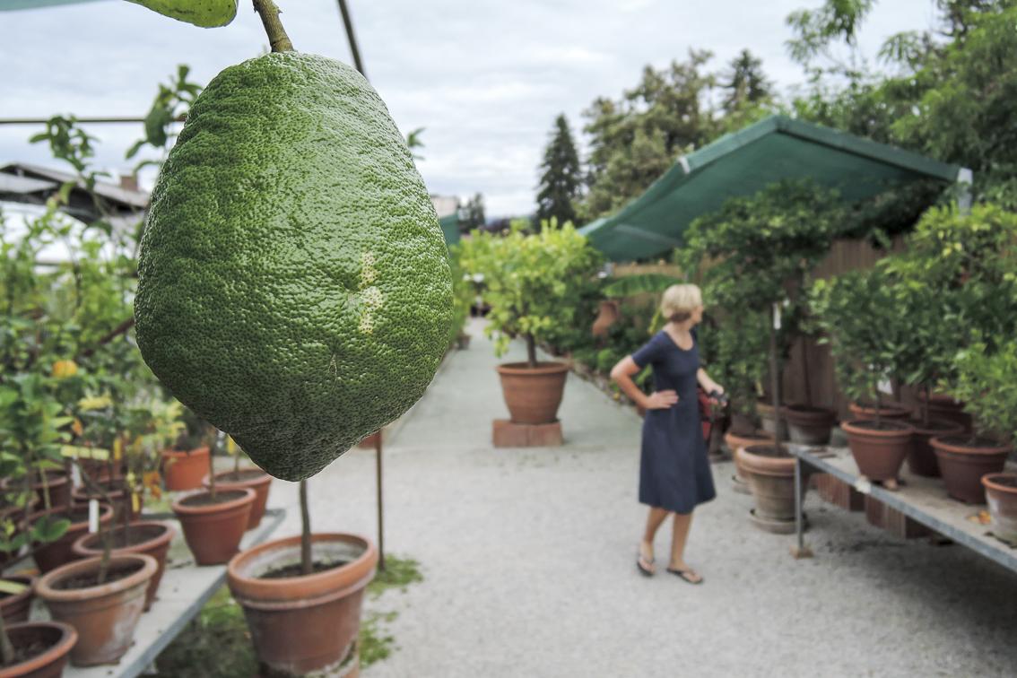 Bio-Zitruspflanzen